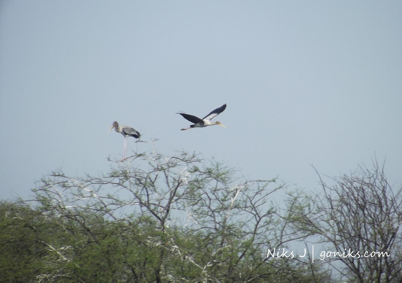 painted stork crane