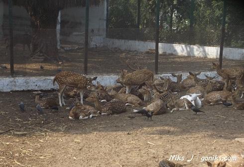 Deers in ahmedabad zoo