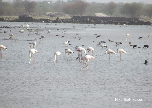Flamingos in Bhilwara