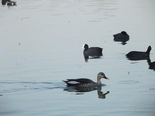 ducks at jalmahal palace