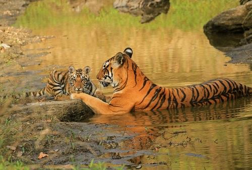 tiger at kanha national park in india