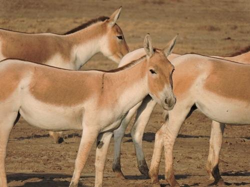 wildlife at rann of kutch gujarat